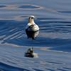 Morus bassanus | Northern gannet | Basstölpel