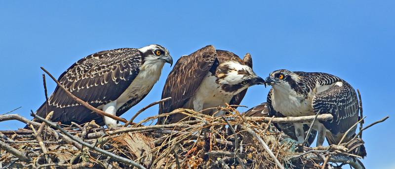 Mature oSprey feeding a juvenile Osprey.