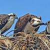 Mature oprey feeding an juvenile Osprey.