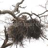 Bubo lacteus – Verreaux's eagle owl