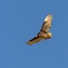 Cathartes aura | Turkey vulture | Truthahngeier