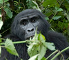 In Bwindi Impenetrable National Park, Uganda