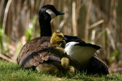 Canada Goose (Branta canadensis) w/ young Medford, Massachusetts. 2005.