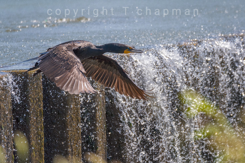 Cormorant Water Wall