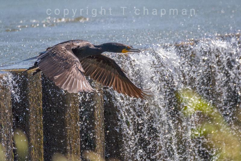 Cormorant Water Wall