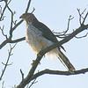 Juvenile Cooper's Hawk at White Rock Lake