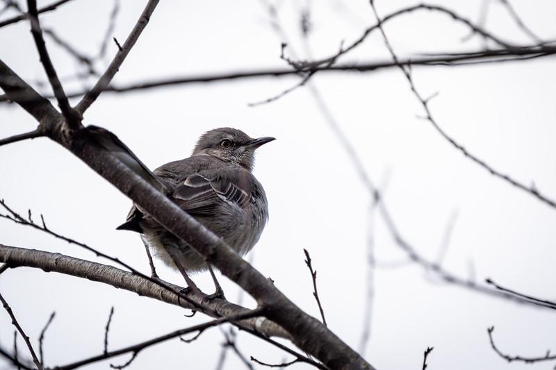 Northern Mockingbird in My Backyard
