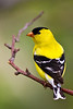 American Goldfinch. Male, fully dressed in his best yellow plumage for attracting the girls!