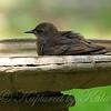 Baby Starling in the bird bath