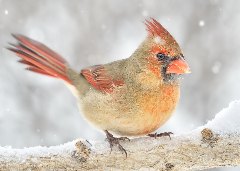 Female Cardinal rides out a snowstorm