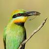Rainbow Bee-eater with a cicada