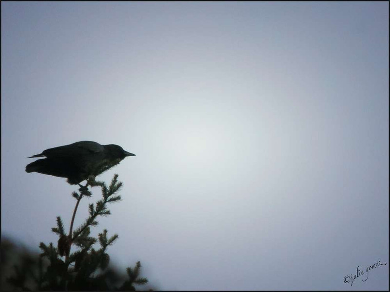 Crow Greets the Morning