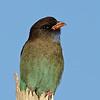Dollar Bird, Federation Walk, Gold Coast. Qld.