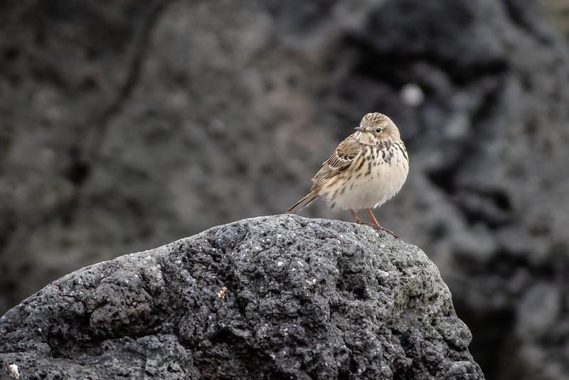 Þúfutittlingur (Anthus pratensis)