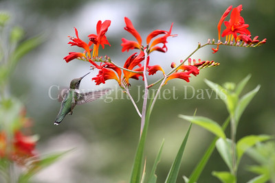 Archilochus colubris – Ruby throated hummingbird on 'Lucifer' crocosmia 1