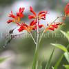 Archilochus colubris – Ruby throated hummingbird on 'Lucifer' crocosmia 1