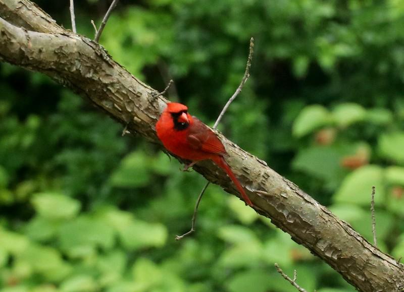 Cardinal in Annapolis May 19, 2020