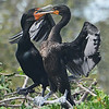 MATING BEHAVIOR BY CORMORANTS