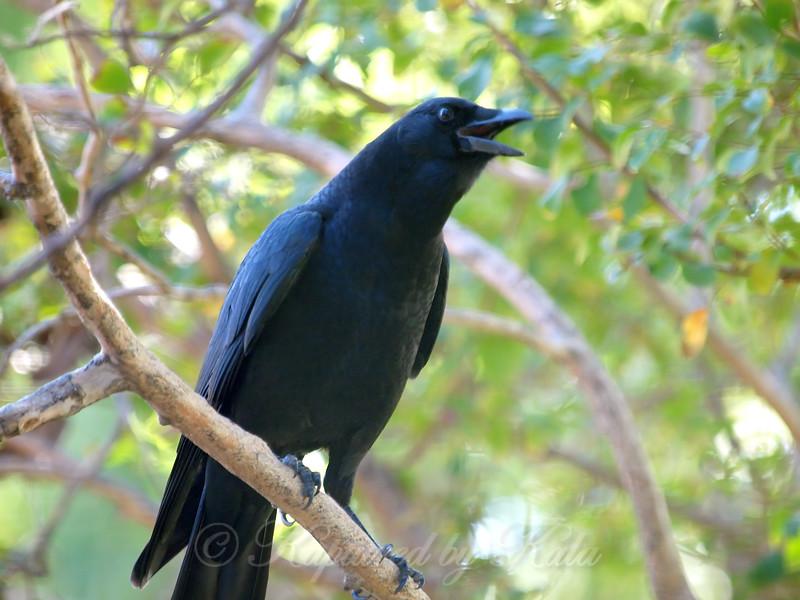 Noisy Crow