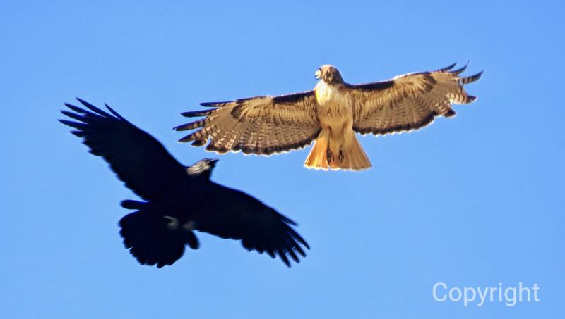 Raven & the Hawk