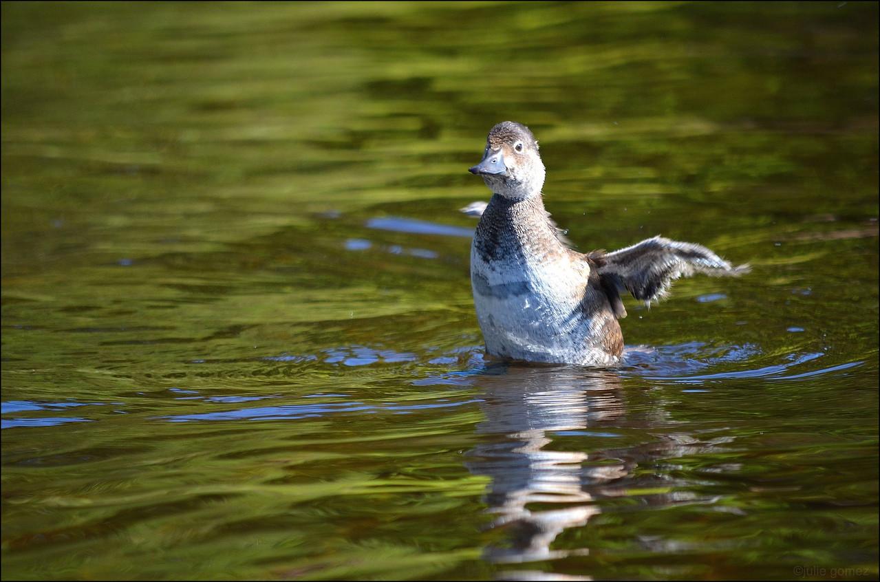 Immature Ring-necked Duck ~ Aythya collaris