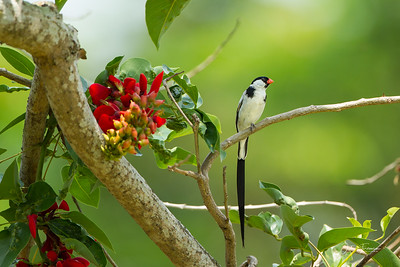 Pin Tailed Whydah, Singapore