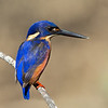 Azure Kingfisher, Tallebudgeraba Creek, Burleigh Heads, Queensland.