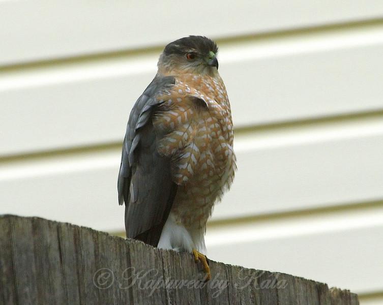 Windy Day Hawk 5
