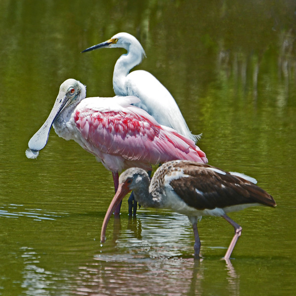 Juvenile White Ibis, Roseate Spoonbill, and Little Egret feeding in tidal pool on Little Hickory Key.