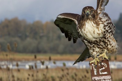 Hawk, Ridgefield Wildlife Refuge