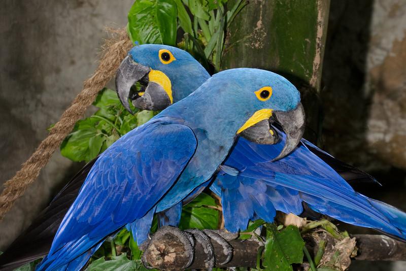 Blue Macaw,Jurong Bird Park,Singapore.