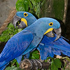 Blue Macaw,Jurong Bird Park,Singapore.