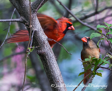 Male Cardinal feeding his mate (1)