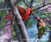 Male Cardinal feeding his mate (1)