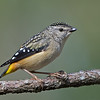 Female Spotted Pardalote