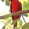 Cardinalis cardinalis – Northern cardinal 1