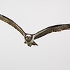Eastern Osprey, The Broadwater, Gold Coast, QLD.