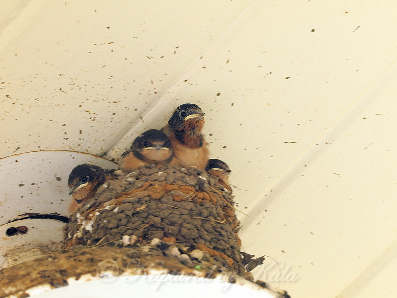 Baby Barn Swallows When There Is No Parent In Sight