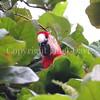 Ara macao – Scarlet macaw 3