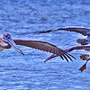 Three Brown Pelicans take flight.