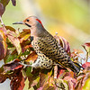 Northern Flicker (Colaptes auratus ) yellow-shafted