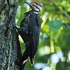 Pileated Woodpecker Making Dust