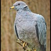 Band-tailed Pigeon—Patagioenas fasciata