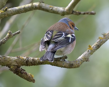 Chaffinch from the rear - Hungerford 11-04-2017