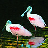 ROSEATE SPOONBILLS AT SUNSET