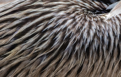 Closeup view of brown pelican feathers