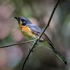 Spectacled Monarch, immature_9871
