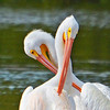 Two White Pelicans preening their feathers.