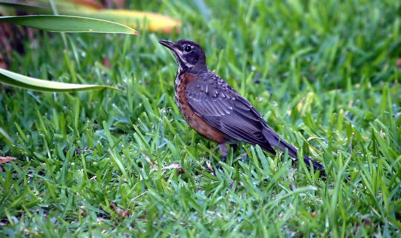 Yard Full of Baby Robins Part 3