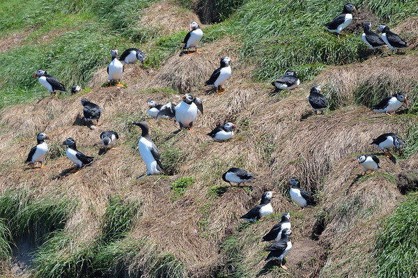 Atlantic Puffins (+1 other)